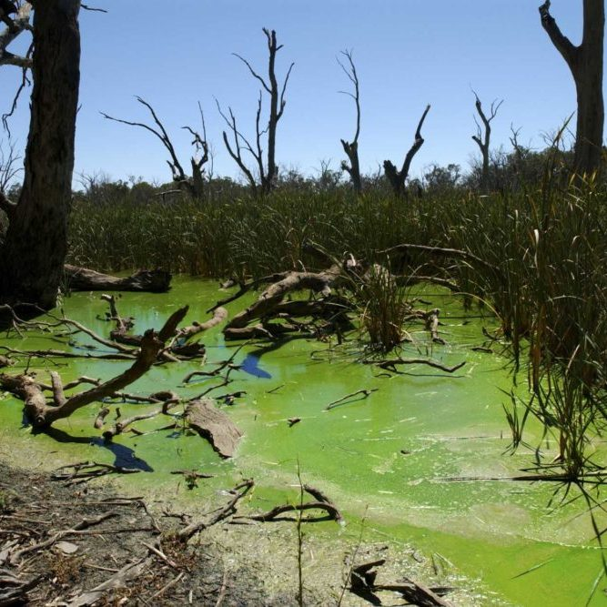 Gum swamp sanctuary near Forbes NSW infested with blue green algae growth